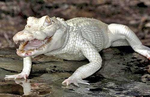albino-crocodile_1503011i