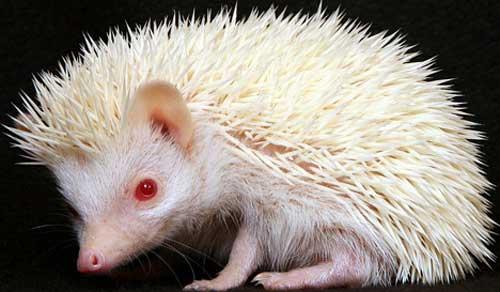 albino_hedgehog_2sfw