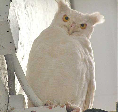albino_owl_3sfw