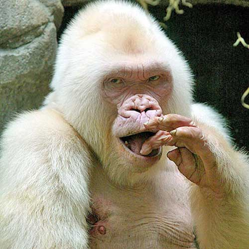 snowflake-gorilla-431x431